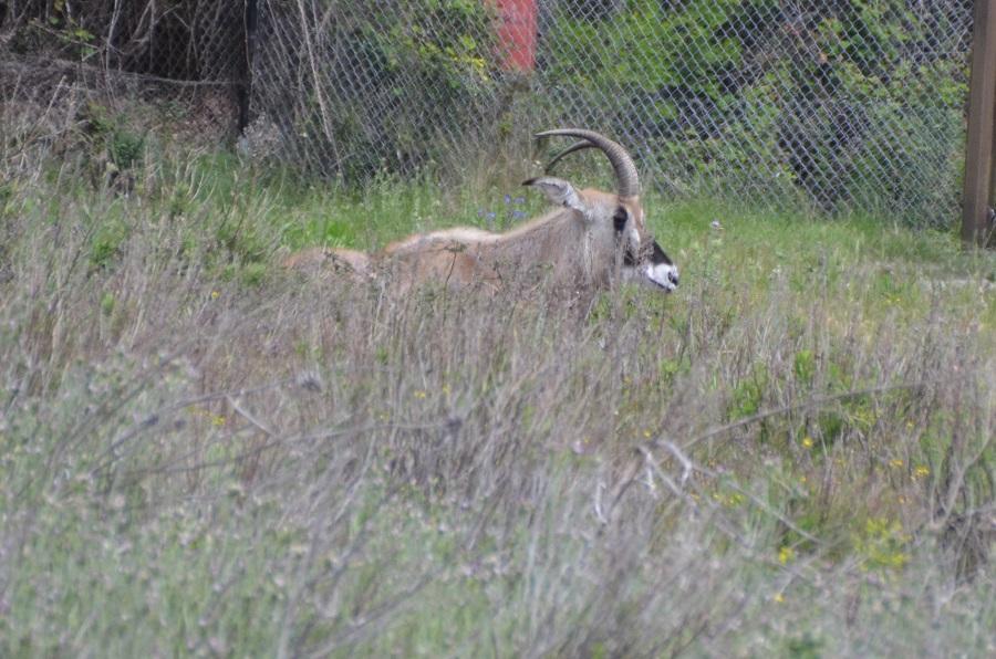 Antilope Rouanne à Sigean
