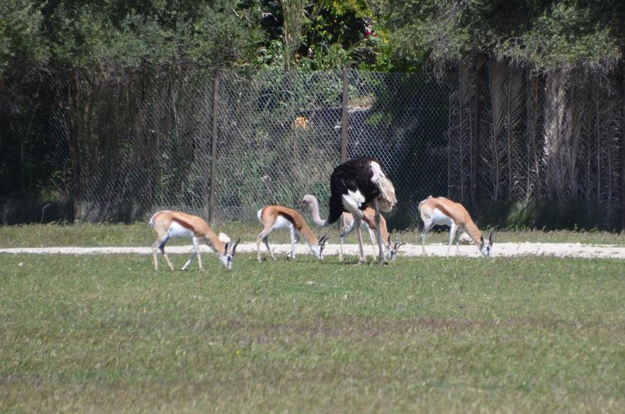 Autruches et Springboks à Sigean