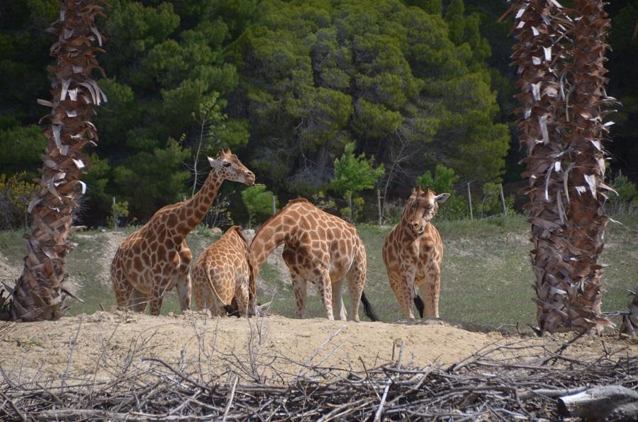 Girafe Giraffa à Sigean