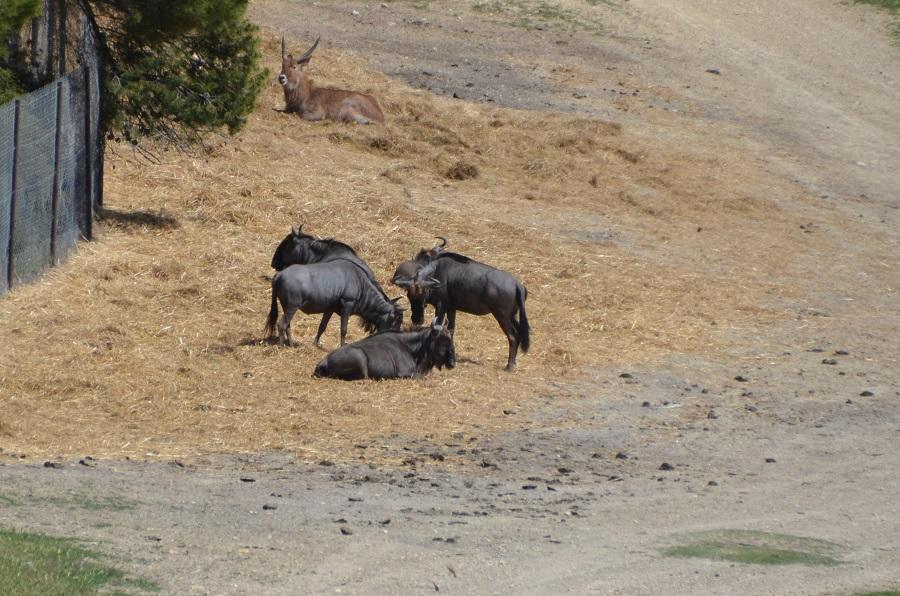 Troupeau de Gnou à queue noire à Sigean