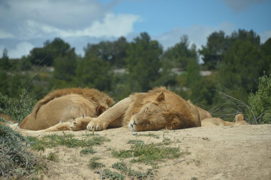 Lions à Sigean