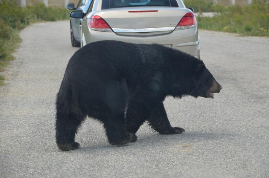 Ours à Sigean en train de traverser la route