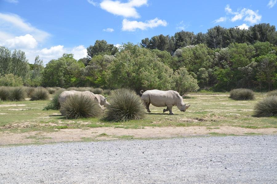 Rhinocéros Blancs - Sigean